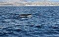 Whale Tail (15739163719).jpg