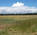 Wheat field north of Grange Farm - geograph.org.uk - 889017.jpg