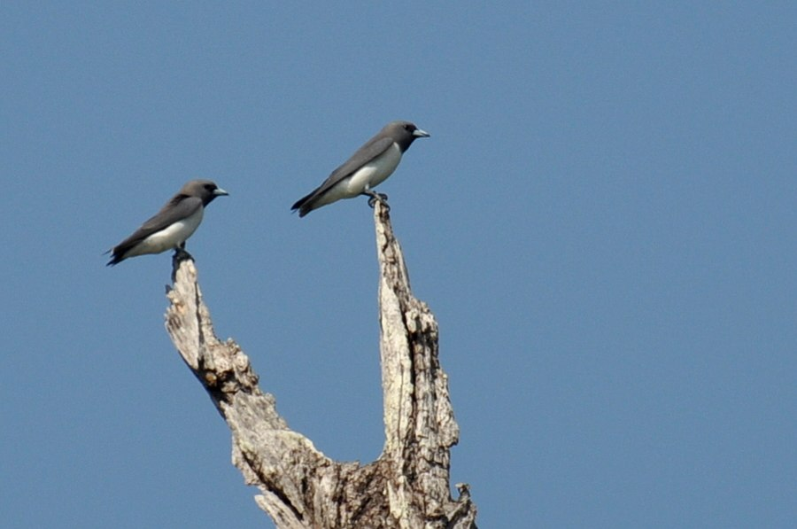 White-breasted Woodswallow Andamans1
