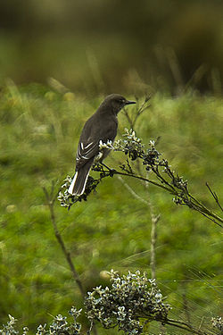 White-tailed Shrike-Tyrant - South Ecuador S4E3293 (16295894634).jpg