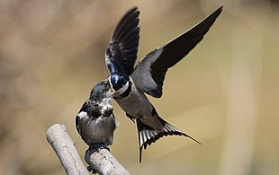 White-throated Swallow, Hirundo albigularis at Marievale Nature Reserve, Gauteng, South Africa. Sequence of two juveniles being fed on the fly by their parents. (15444840709)