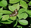 White Admiral. Limenitis camilla - Flickr - gailhampshire (5).jpg