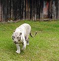 White Tiger at Pana'ewa Rainforest Zoo.JPG