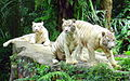 White Tigers, Singapore Zoo.jpg