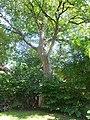 Wiener Naturdenkmal 95 2015-06-21 Bergahorn Wien19 Cobenzlgasse32 GordanaP a.JPG