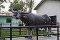 Wild Water Buffalo Statue at Koshi Tappu Wildlife Reserve.jpg