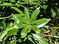 Wild almond leaf.jpg