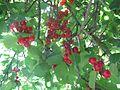 Wild cherries 2.jpg