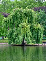 Weeping Willow (Wikimedia, CC-by-sa 3.0), by Jdforrester