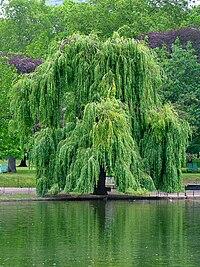 معلومات عن نبات الرمرام 200px-Willow