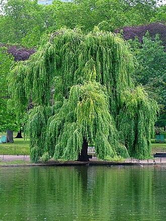 Salix babylonica - Salix babylonica