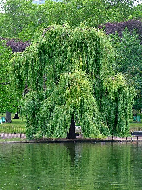 Dating elävät puut