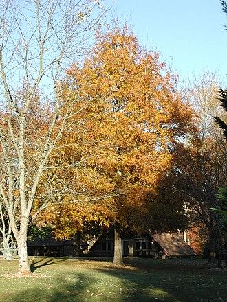 Quercus phellos - Quercus phellos in autumn foliage