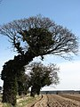 Wind-shaped trees - geograph.org.uk - 714955.jpg