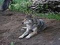 Wolf - Loki (41830606770).jpg