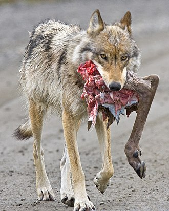 Wolf - Gray wolf carrying caribou hindquarter, Denali National Park