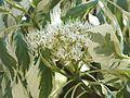 Wzwz tree 07d Cornus controversa 'Variegata'.jpg