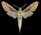 Xylophanes indistincta MHNT CUT 2010 0 349 Itatiaia National Park Brasil, male ventral.jpg