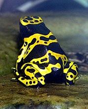 A espécie Dendrobates leucomelas é uma das mais populares nas lojas de animais de estimação. Encontra-se em estado vulnerável, tal como a Dendrobates azureus [6].