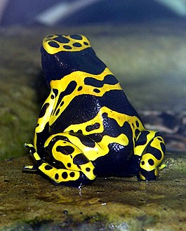 Yellow-banded.poison.dart.frog.arp.jpg
