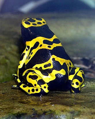 Batesian mimicry - The yellow-banded poison dart frog (Dendrobates leucomelas) has conspicuous aposematic coloration.