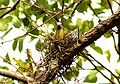 Yellow-footed Green Pigeon Treron phoenicoptera nest by Dr. Raju Kasambe (4).jpg