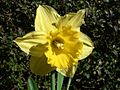 Yellow daffodil flower close up.jpg