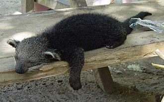 Binturong - Young binturong kept as a pet by Orang Asli at Taman Negara, Malaysia