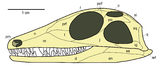 Youngina skull lateral.png
