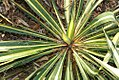 Yucca filamentosa Color Guard 0zz.jpg