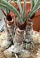 Yucca torreyi 2.jpg
