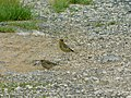 Zelentarka, mužjak i ženka (Chloris chloris) Greenfinch, male and female.jpg