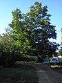 Zheleznodorozhnaya st. The nut-tree. July 2013. - Улица Железнодорожная. Ореховое дерево. Июль 2013. - panoramio.jpg