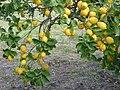 Zitronenbaum.JPG