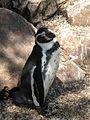 Zoo de Jurques manchot 01.JPG
