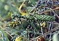 ZyBlepharopsisMendica2.jpg