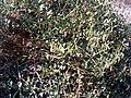 Zygophyllum fabago Plant ParquedelasDunas TorreLaMata.jpg