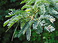 """Prosopis Juliflora of thirunelveli"".JPG"