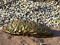 """Sea mouse"" (Aphrodita aculeata) - geograph.org.uk - 1735554.jpg"