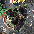 'Giant Exhibition Magma' coleus IMG 0891.jpg