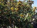'Goliath' Magnolia grandiflora Capel Manor Gardens Enfield London England.jpg