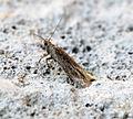 (0822) Scrobipalpa acuminatella (17649966496).jpg