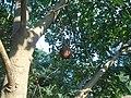 (Couroupita guianensis) at Kakinada Gandhinagar park 04.JPG