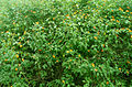 (Lantana camara) bushes at IGZoo park 01.JPG