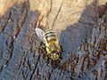 Бджола медоносна (Apis mellifera) 01.jpg