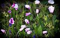 Ветреница павлинья - Anemone hortensis var. pavonina - Broad Leaved Anemone - Червена съсънка (Павонска съсънка) - Stern-Anemone (9429902107).jpg