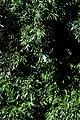 Гнілецька верба DSC 0705.jpg