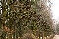 Декоративні дерева в парку лікарні Південно-західної залізниці P1350045.jpg