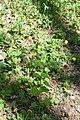 Дубовий гай Кульбаба DSC 0436.jpg