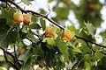 Ліріодендрон тюльпановий 03.jpg
